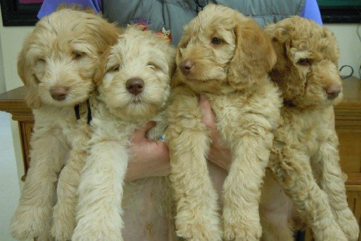 Goldendoodle puppies.