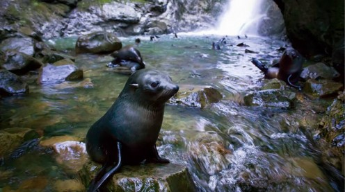 Baby Seals play in the Ohau Waterfall