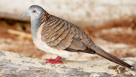 The Bar-shouldered Dove By Duncan McCaskill CC BY-SA 3.0