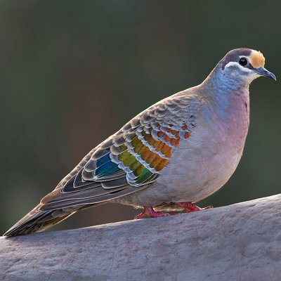 Brush Bronzewing Dove By Adam Blyth