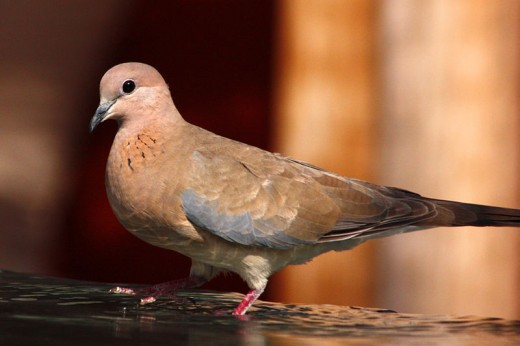 Laughing Dove By Charlessharp CC BY-SA 3.0