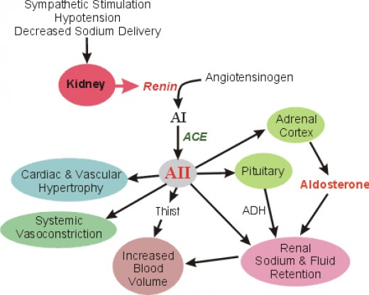 Fig.1 below shows mechanism of ACE inhibitors action