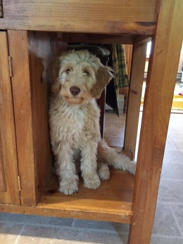 Our beautiful puppy, Belle, in her favorite hiding spot in our kitchen island.