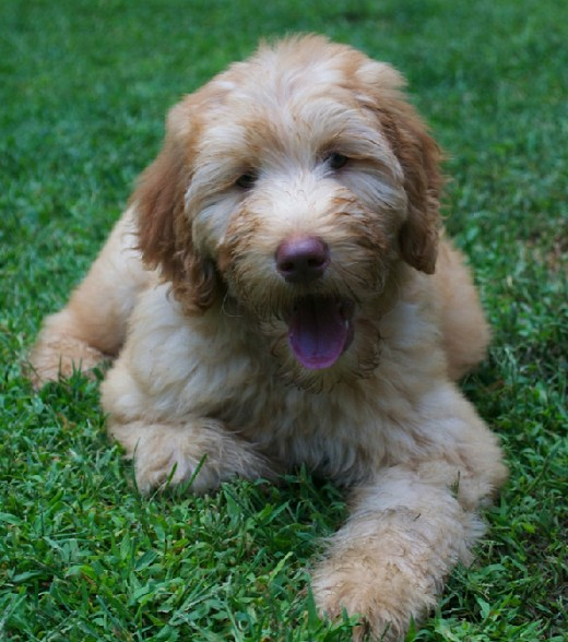 An adorable goldendoodle puppy.