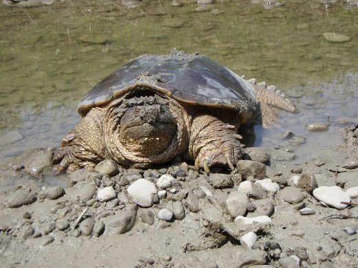 Snapping Turtle by Ontley Public Domain