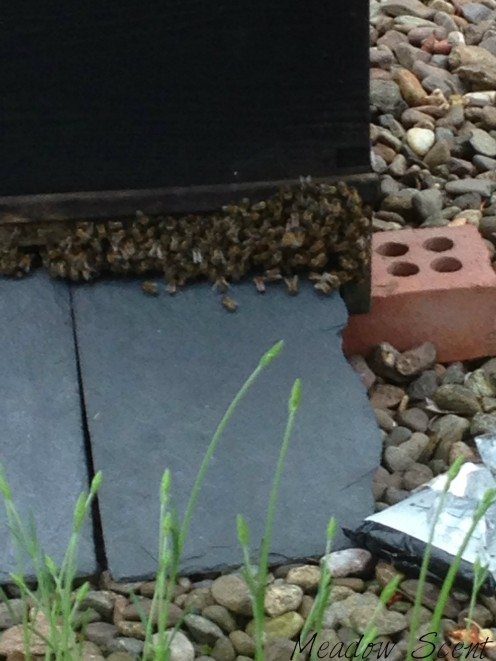 Bees clustering outside the hive during the June gap.
