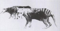 The Continued Existence of the Thylacine