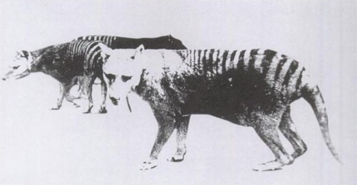 One of only two known photos of a Thylacine with a distended pouch, bearing young. Adelaide Zoo 1889
