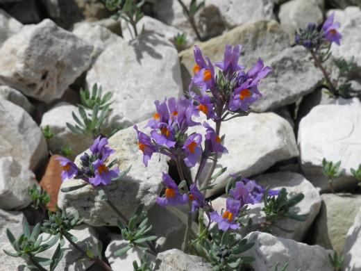 Linaria alpine