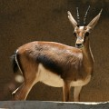 The Beautiful Gazelle