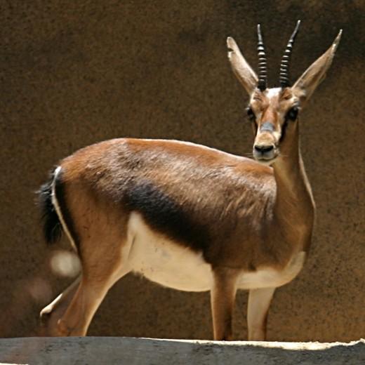 Cuvier's Gazelle By en User Cburnett GNU 1.2
