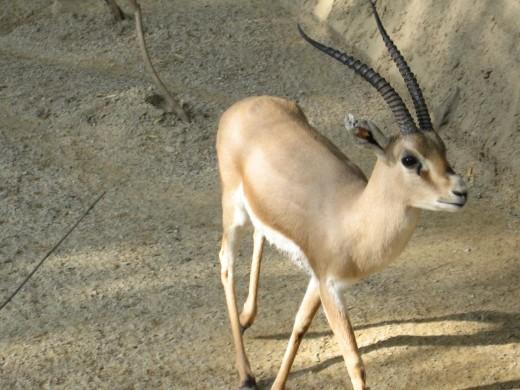 Slender-Horned Gazelle By FisherQueen GNU 1.2