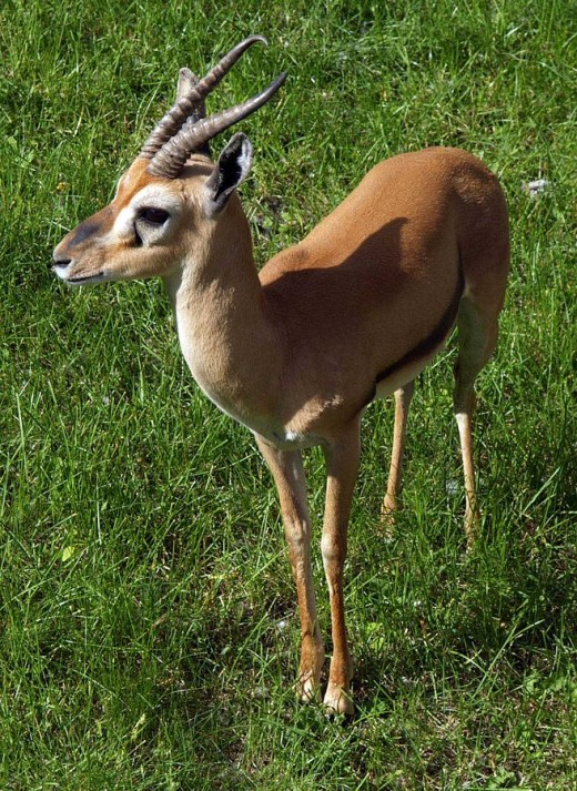 The Red-Fronted Gazelle By Andrizej Barebazy GNU 1.2