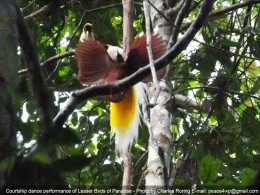 a male Lesser Birds of Paradise was displaying his beautiful feather with female birds at the background.
