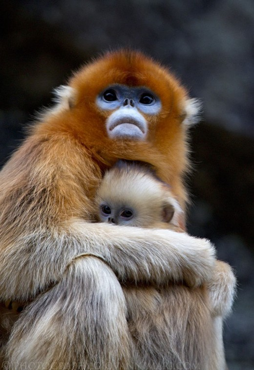 Golden Snub-nosed Monkey By Giovanni Mari CC BY-SA 2.0