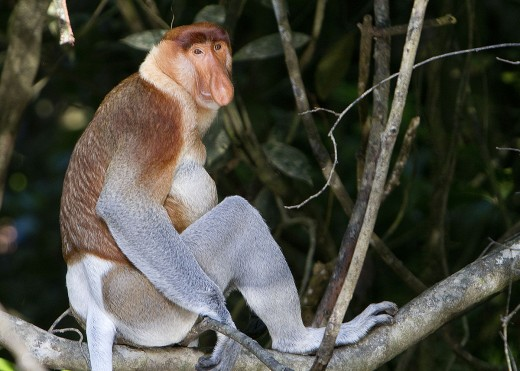 Proboscis Monkey By David Dennis CC BY-SA 2.0