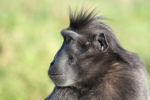 Sulawesi Crested-black Macaque Monkey Courtesy of freeimages.com