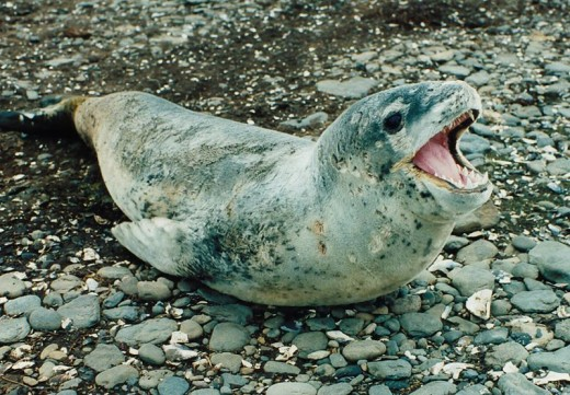 A Happy Leopard Seal