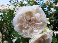 Sombreuil Climbing Rose Or Colonial White
