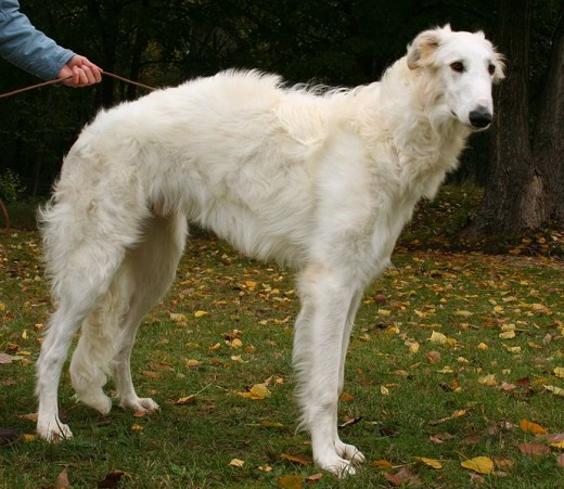 Borzoi Dog By People 2000 GNU 1.2