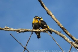 A couple of Golden Myna in Klasow Valley of Sorong Regency