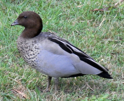 Australian Wood Duck Male By Quarti CC BY-SA 3.0