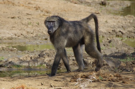 Chacma baboon Papio ursinus strolling along the road on the Sani Pass. Photo: Matt Feierabend