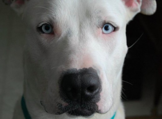 Chief - American Bulldog/Pit Bull mix