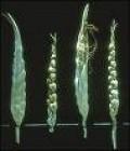Teosinte is a grass-like precursor to corn. Click to enlarge.