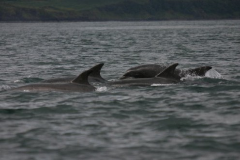 A group of bottlenose dolphins that we saw really close to land in a harbour of sorts.
