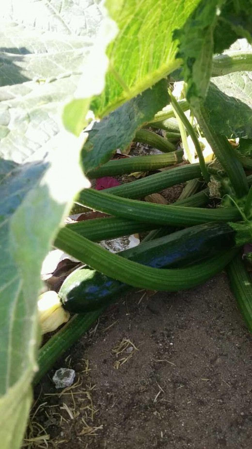 Zucchini growing in our backyard.