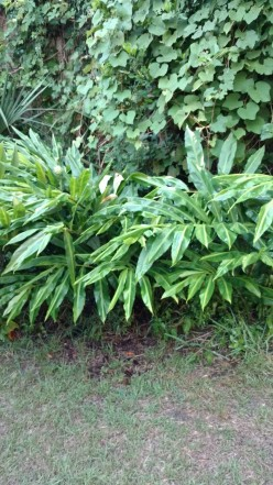 Pine Cone Ginger~~ More than Just a Pretty Face in Your Yard
