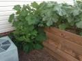 Garden Journal #12: Mid-Summer Check In