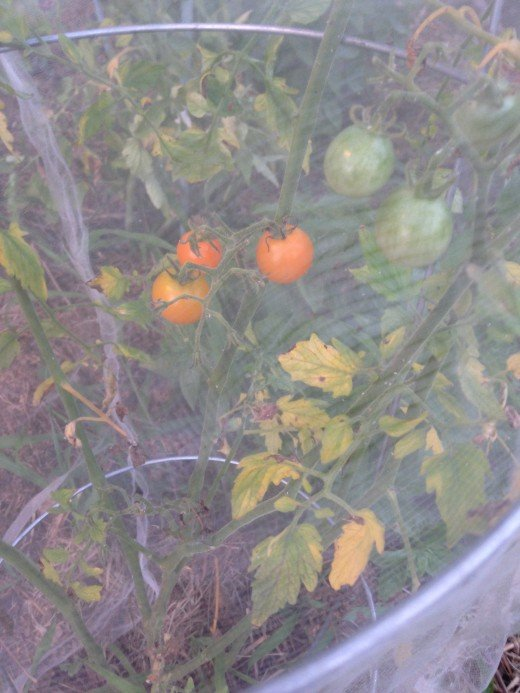 Cherry tomatoes behind net.