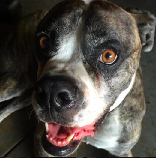 Dezl, American Bulldog