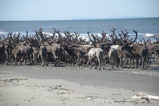 Reindeer herd on a beach in the park.