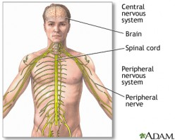 Nervous System: Body's potential to heal itself