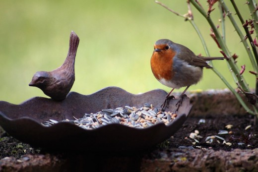 A Robin dining at a bird feeder