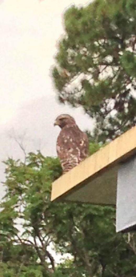 Hawk overseeing its neighborhood