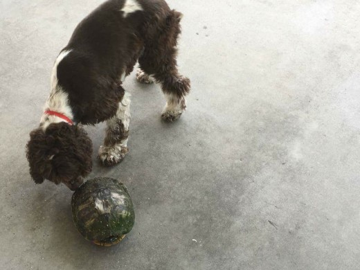 family dog investigates a visit from a large turtle