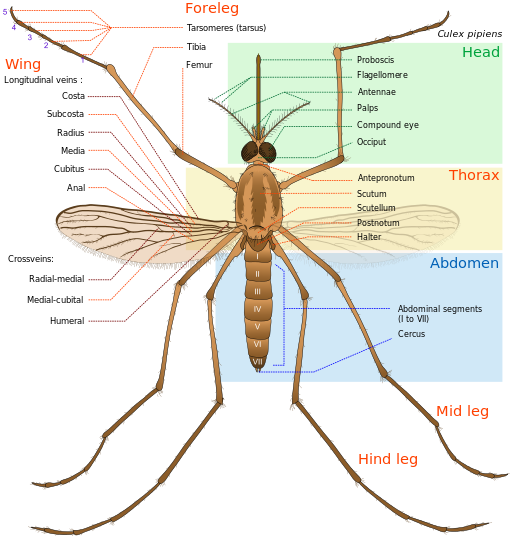 Mosquitoes are insects with four life cycles. They are known to cause diseases that kill millions each year.