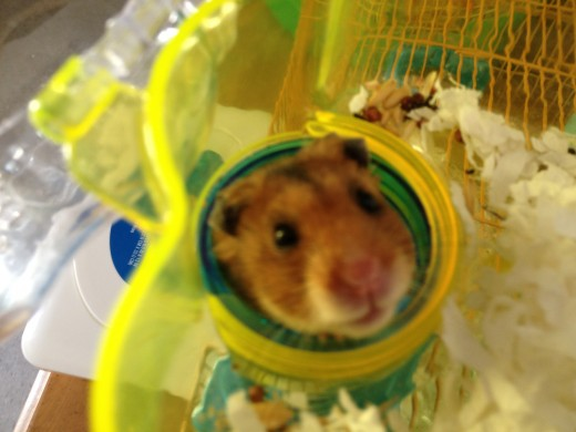 Cody, one of my favorite hamster pals.  Unfortunately Cody wanted to be rich and famous and for me to help him do it.