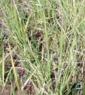 dry paddy waiting for monsoon