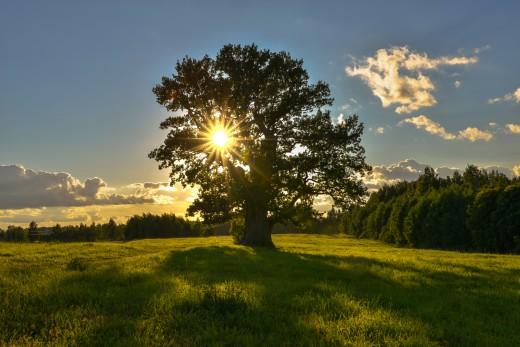 Tamme-Lauri oak. The oldest tree in Estonia. Tamme-Lauri oak is depicted on the back side of Estonian ten kroon banknote.