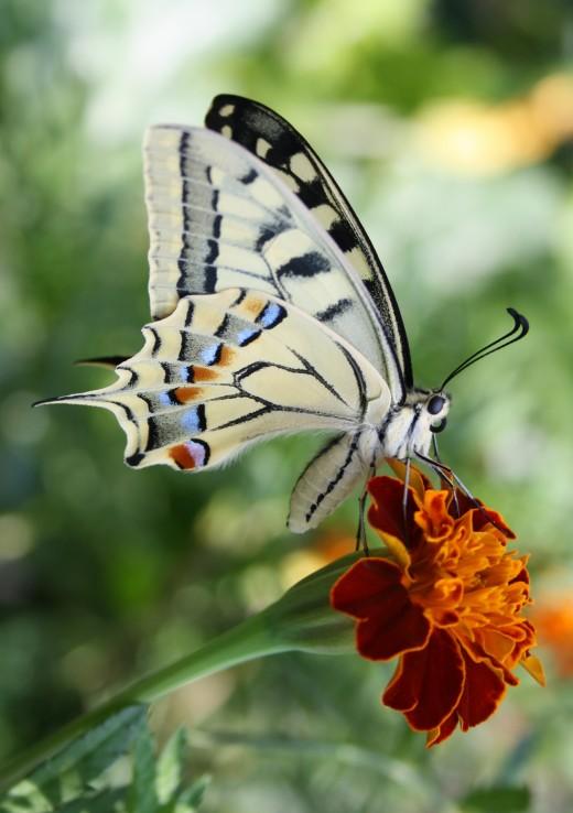 A vendral side of Papilio machaon. Bolzano Italy.