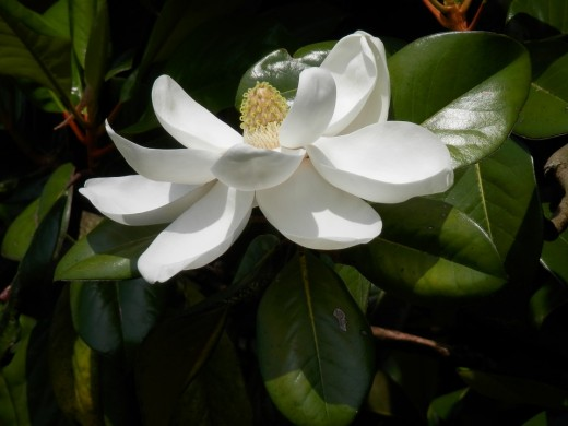 Southern Magnolia along the Withlacoochee River.