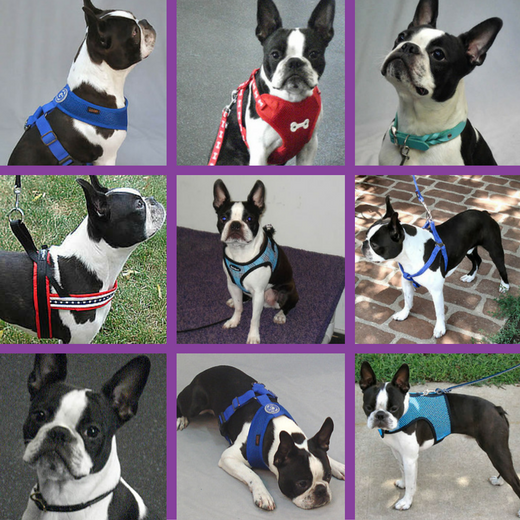 Booker (Boston Terrier) in different harness and collar styles.