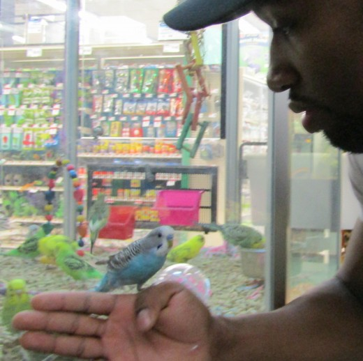 Aqua the parakeet and friend visit some budgie buddies in a Quincy, MA pet store. - Photo by George Sommers