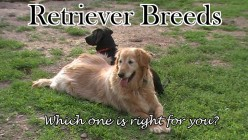 Breaking Down the Retriever Breeds