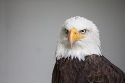 The Bald Eagle. Bald?